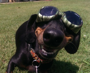 Dachshund wit Doggles