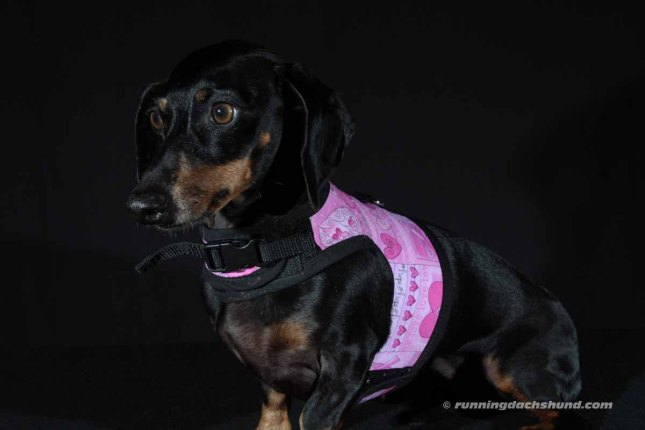 Scarlett with her new Pink Ribbon Hug-A-Dog Harness